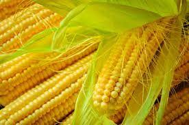 Nasiona Kukurydzy SY Talisman Fao 220/230 50 tys nasion