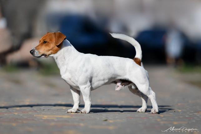 Вязка собак Джек Рассел Терьер