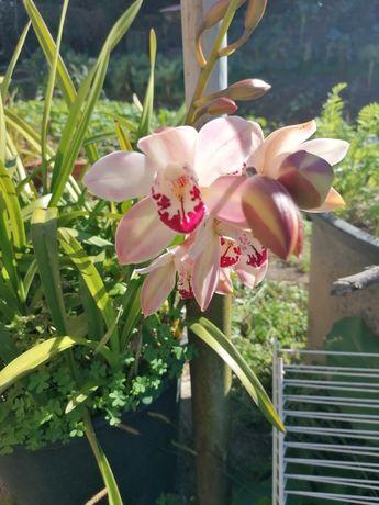 Orquídeas mudas.