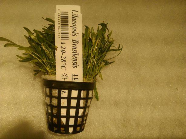 Roślina akwariowa lilaeopsis
