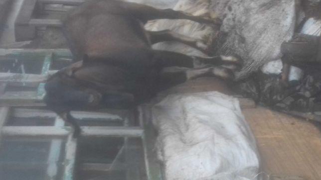 Продам козла англо нубийский