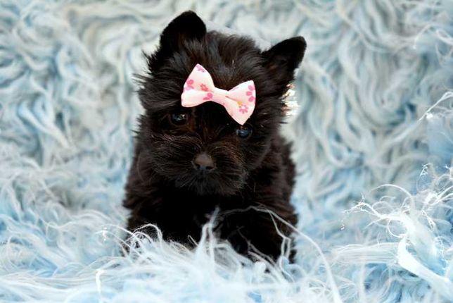 DAISY Yorkshire Terrier York czarna suczka black SUPER MINI XXS 1.5KG