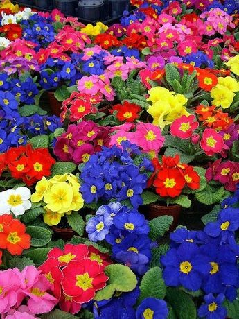 ПРИМУЛА КРОКУС ОПТ цветы цветок гиацинт нарцисс тюльпан 8 марта