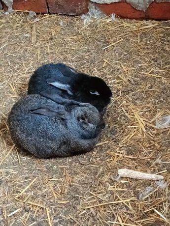 2 króliki samce .