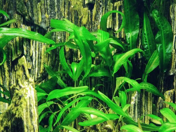 Roślinki do akwarium - kryptokoryna (łatwa w uprawie) możliwa wysyłka