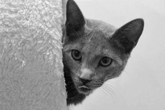 Kociaki Rosyjskie Niebieskie z prawdziwym rodowodem fpl