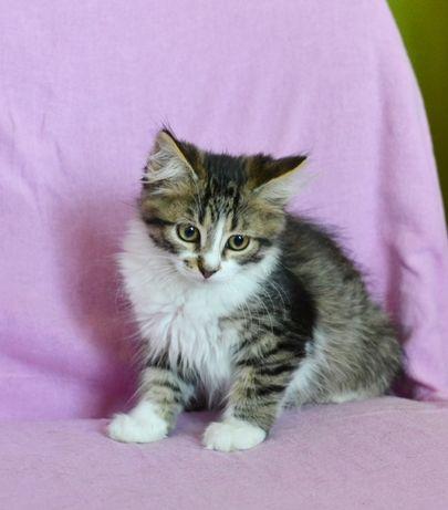 Пушистый полосатый котенок Чак, мальчик 2,5 месяца