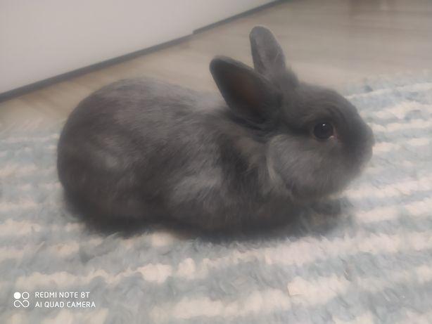 Sprzedam króliczka