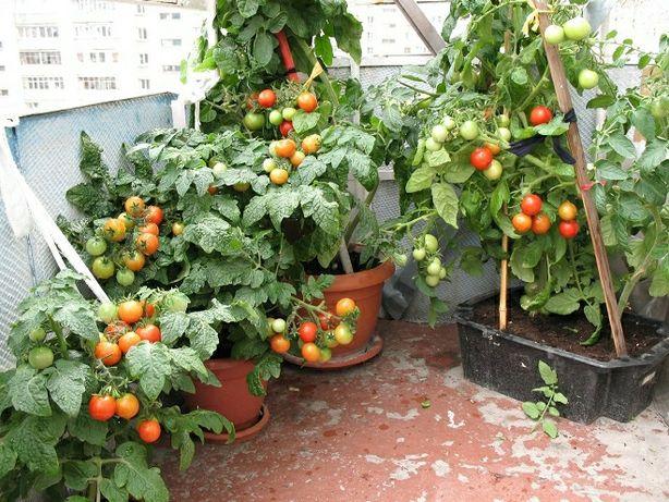 Саджанці помідорів балконе чудо