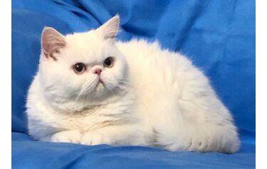 Котик белый экзотик приглашает на вязку
