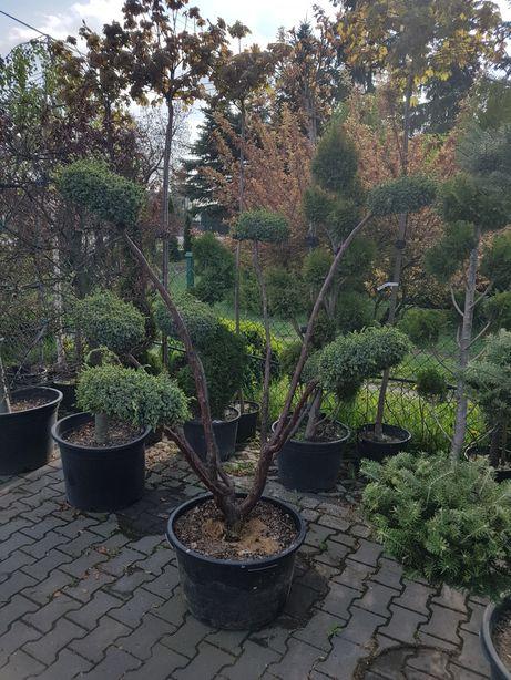 Krzewy formowanie