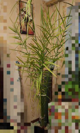 Пальма финиковая. Комнатные растения.