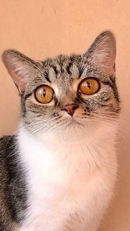 Экзот/девон рекс кошка