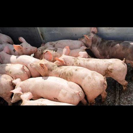 Свинокомплекс продає поросят.