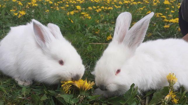 Кролики  продажа і обмін
