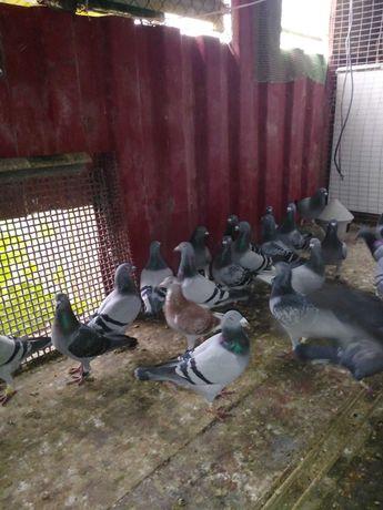 Venda total da colónia pombos correios
