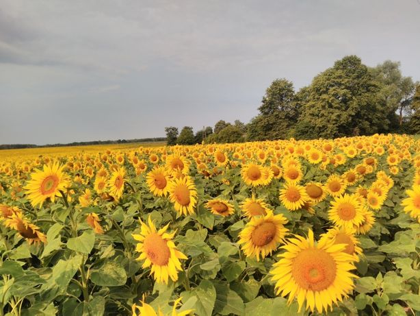 Słonecznik ,nasiona ,poplon ,karma dla ptaków
