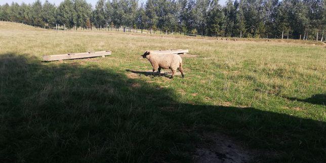Sprzedam owieczke i baranka rasy Czarnogowka urodzone w 2020 roku