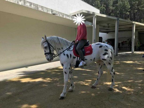 Cavalo Apaloosa Castrado