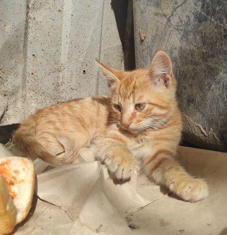 Рыжий котенок мальчик