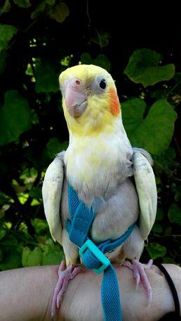 Smycz, szelki dla średnich papug nimfa rudosterka