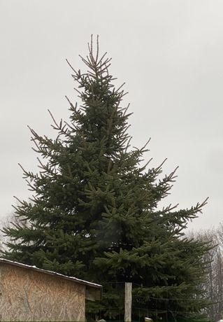 Gałęzie Świerka , gałązki świerk na stroik świąteczny