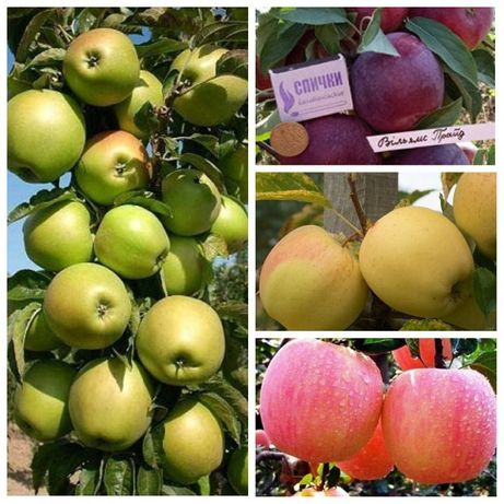 Саженцы яблони, груши, слива, абрикос  большой выбор.