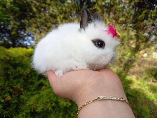 F1 królik króliczek Panda biało-czarny mini lop TEDDY KARZEŁEK wyprawk