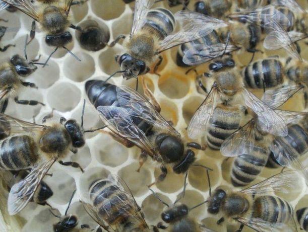 Пчеломатка. Карпатка 2021 года.