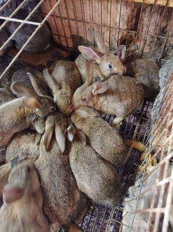 40 coelhos bravos