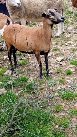 Owca kameruńska z młodym baranem