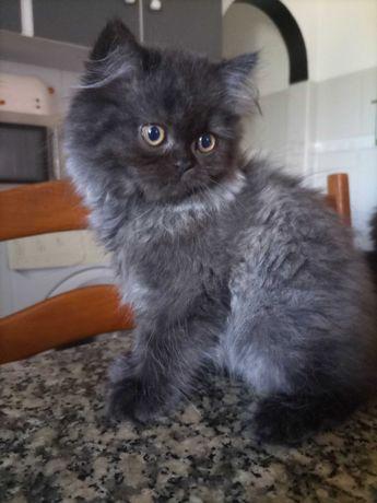 Gatos persas lindos