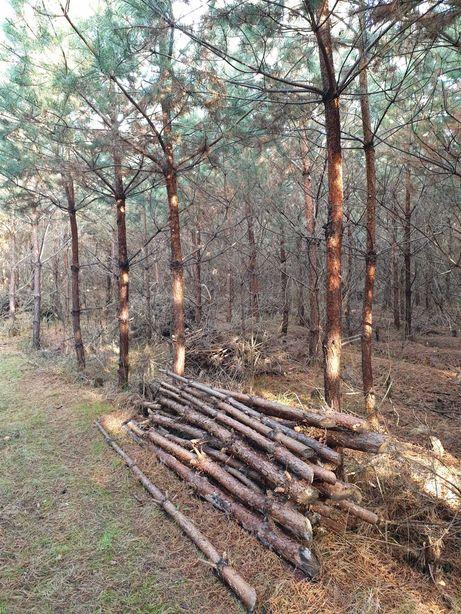 Drzewo, drewno na opał, stemple, sosna zwyczajna, las.