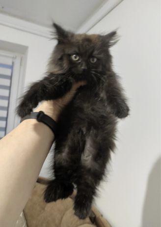 Кошечка 2 месяцев. Ооочень пушистая!