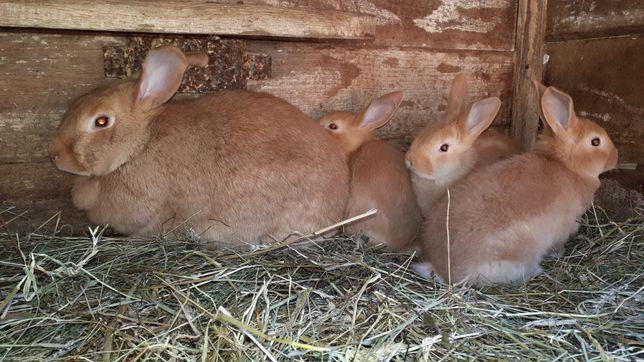 Кролики Бургундські