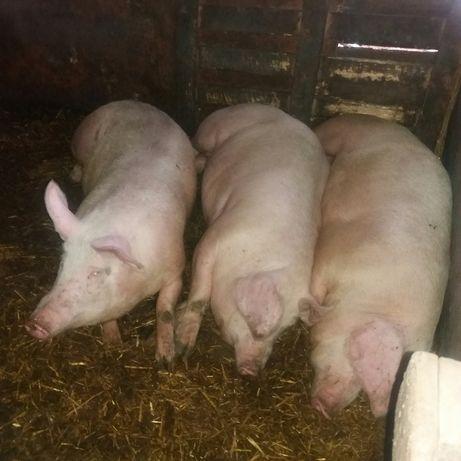 Срочно,Приёмка,свиней живым весом у населения