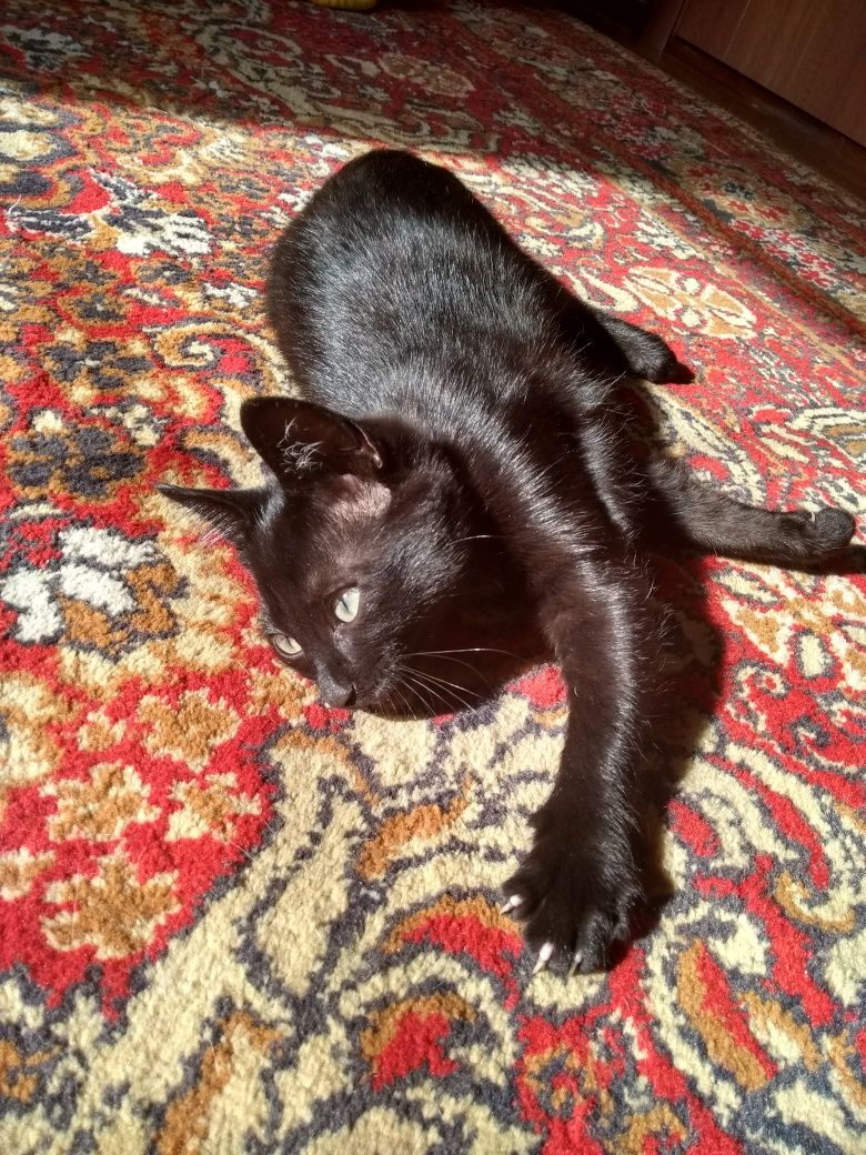 Котик в хорошие руки от сиамки