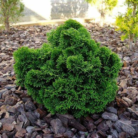 Chamaecyparis Nana Gracilis (arbusto, sebe, cedros, cipreste)