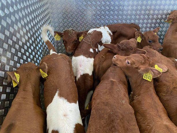Opoczno byczki mięsne