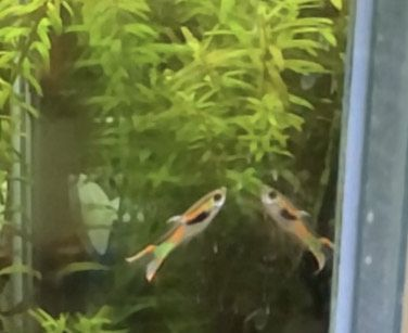 gupiki Endlera pomarańczowo-zielone