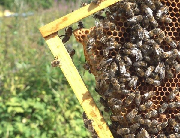Быстрая. Карпатка Вучковская. Плодная Карпатські бджоли