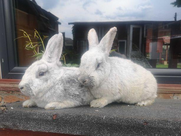 Parka królików WJS