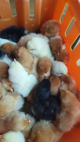 Koguciki jednodniowe kurczaki koguty