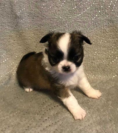 Chico piękny Chihuahua długowłosy piesek