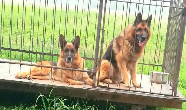 Owczarek niemiecki krótkowłosy suka i pies