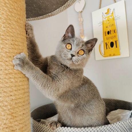 Kot Brytyjski kotki piękne gotowe do zmiany domu możliwy dowóz
