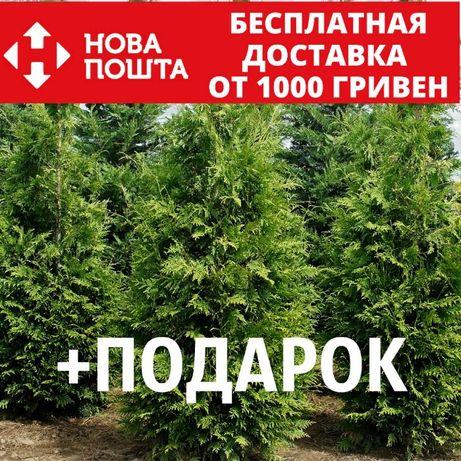 Туя западная семена 20 шт для саженцев Thúja occidentális + подарок