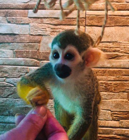 Саймири - ручной домашний саймири , обезьянка саймири