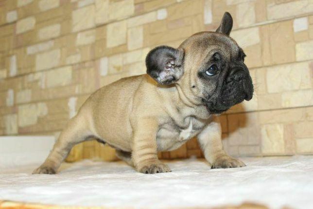 Французский бульдог девочка аллиментый щенок-Самая красивая девочка