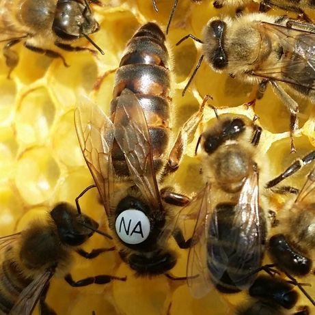 """Matki pszczele, matka pszczela jednodniówka, unasienniona, """"Karpatka"""""""